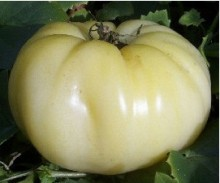 Large 1 lb. white fruit with a mild, low acid taste and very few seeds. Indeterminate. 82. days.